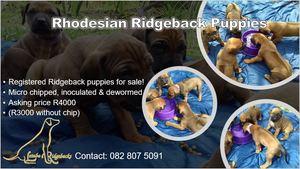 Rifrug hondjies te koop / Ridgeback Puppies for sale